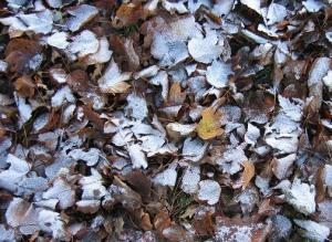 snowy leaves